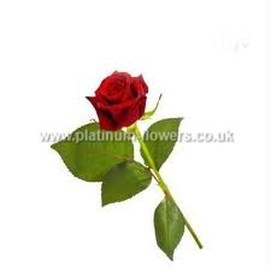 Single Valentines Day Rose